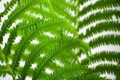 The leaves of wild fern close-ups as a background. Stock Photos