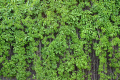 The leaves of the wild grape Stock Photo