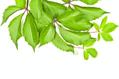 Leaves of wild grape on white background Stock Images