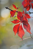 Leaves of wild grapes in autumn Stock Images