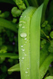 Leaves of wild lilies after rain. Leaves of wild lilies after the rain Stock Image