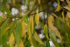 Leaves of willow with bokeh. Soft focus royalty free stock images