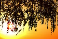 Leaves of willow with sunset Royalty Free Stock Photography
