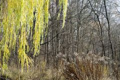 The leaves of the willow are yellow-green hanging on the branches of a tree in the autumn against the dark forest. Natural background royalty free stock photo