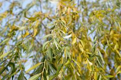 The leaves of the willow are yellow-green hanging on the branches of a tree in the autumn against the sky. Natural background royalty free stock image