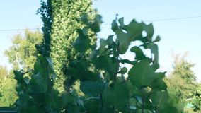 Leaves in the wind. Green leaves stagger in the wind in a small hurricane stock video footage