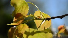 Leaves on a wind. Picture of leaves on a wind stock video footage