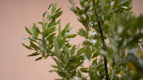 Leaves in the wind. During a rainy day stock footage