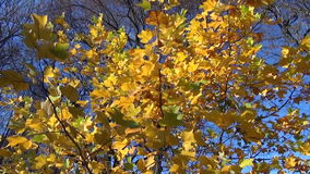 Leaves wind sway. Yellow tree leaves flickers sun light and sways in the wind stock video