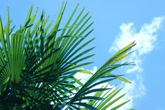 Leaves of a Windmill palm tree against a blue sky with clouds stock photo