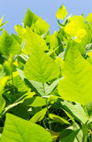 Leaves of winged bean Stock Photography