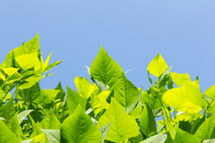 Leaves of winged bean Stock Images