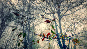 Leaves in a winter forest. Autumn leaves against a background of bare trees and branches inside a winter forest Stock Photography
