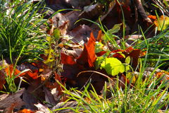 Leaves in the winter sun Royalty Free Stock Photography