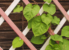 Leaves on a wooden lattice. Green leaves are twisted by a wooden lattice Royalty Free Stock Image