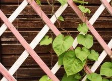 Leaves on a wooden lattice of the veranda Stock Photos