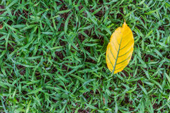 Leaves yellow falling on the grass Stock Photos