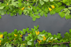 Leaves and yellow flowers in water Royalty Free Stock Images