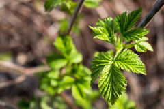 Leaves in yellow spots,crimson branch, a raspberry bush, a green bush. The burned leaves on the sun, leaves in yellow spots, the damaged leaves, the changed Royalty Free Stock Photography