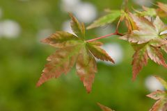 The leaves of a young Acer Palmatum sprouting in spring royalty free stock image