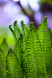 Leaves of a young fern green in spring Royalty Free Stock Photos