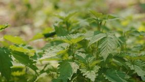 Leaves of young nettles in the forest