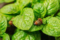 Leaves of young potatoes with two Colorado beetles stock images