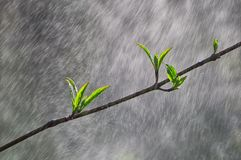 The leaves of a young tree in the rain Royalty Free Stock Image