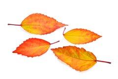 LeavesHibiscus del otoño aislado en blanco Imagenes de archivo
