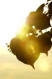 leavessilhouette Royaltyfri Bild