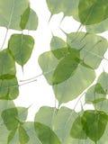 leavesvatten Arkivbild