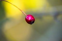 Leavigata för hagtornbärCrataegus Arkivbilder