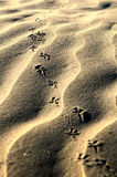 Bird steps on fine sand Royalty Free Stock Photo