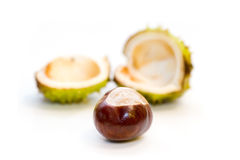 Leaving home. A chestnut leaving the nest stock photography