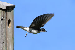 Leaving The Nest. Male Tree Swallow (tachycineta bicolor) leaving a nest Royalty Free Stock Photo