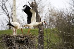 Leaving the nest Royalty Free Stock Image