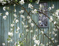 Leaving a reality - life goes on. Apple blossom on the background wall of the old uninhabited farmhouse - life goes on Stock Photo