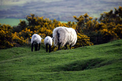 Leaving sheep. A family of sheep leaving in the sunset. Picture taken in Cornwall, England Royalty Free Stock Images