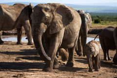 Leaving the Waterhole stock photography