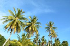 Ладони кокосов Стоковое фото RF