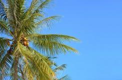 Ладонь кокосов Стоковые Изображения RF