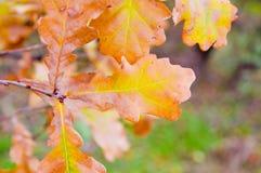 Leavs della quercia Fotografie Stock Libere da Diritti