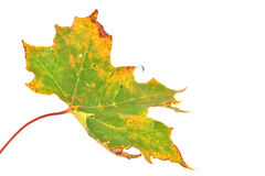 Leavs di autunno Immagine Stock