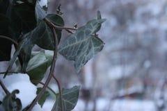 Leavs och frost Arkivbilder