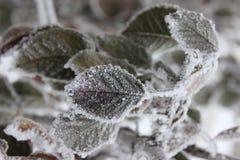 Leavs och frost Royaltyfri Foto