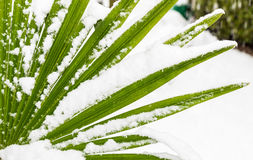 Leavs of palm trees covered with snow Royalty Free Stock Photos