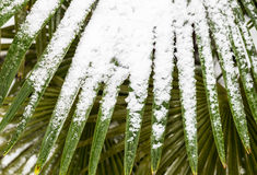 Leavs of palm trees covered with snow Stock Image