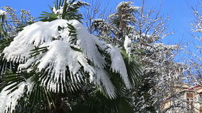 Leavs of palm trees covered with snow stock video