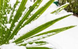 Leavs van palmen met sneeuw worden behandeld die royalty-vrije stock foto's