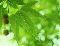 Leavs verts Photos libres de droits